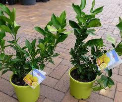 lemon tree x: marvelous patio lemon tree  garden with lemon trees
