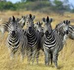 Images & Illustrations of zebra