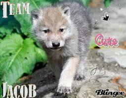 cute baby wolf cub