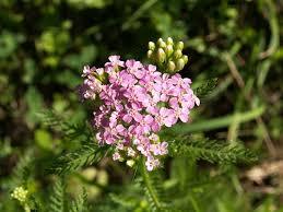 Achillea roseoalba - Wikipedia