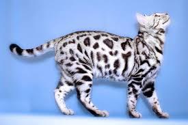 white bengal cat.  Cat White Bengal Catjpg With Cat