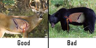Deer Vitals Chart Where To Shoot A Black Bear With A Bow Bear Hunting