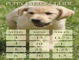 Lab Puppy Food Chart Labrador Puppy Exercise How Much Is Too Much Golden
