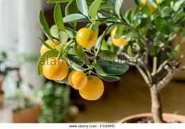 Loquat Is Japanese Medlar  Frutas  Pinterest  Japanese People Small Orange Fruit On Tree