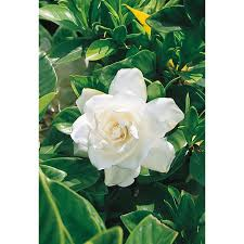 2 gallon white august beauty gardenia flowering shrub l3497
