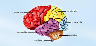 Main Parts Of The Human Brain And Subdivisions Of Human