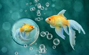 fish, Bubbles, Gold, Goldfish ...