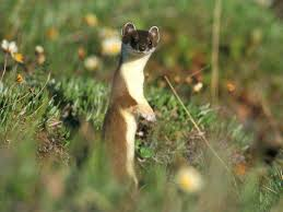 like weasels essay living like weasels essay