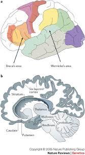 eloquent cortex diagram eloquent database wiring diagram schematics box 2 the eloquent ape genes brains and the evolution of