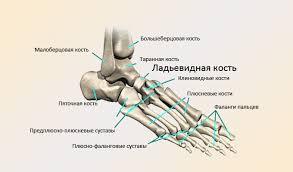Ладьевидная кость стопы перелом остеохондропатия боли Особенности анатомии ладьевидной кости