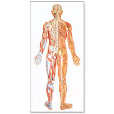 The Nervous System Chart Rear