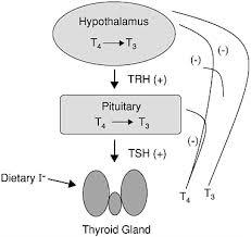 Hypothyroidism Pathophysiology Flow Chart 2 Pathophysiology And Diagnosis Of Thyroid Disease
