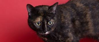 available pets bella belongs y o u bella the big green eyes has been in her kitty condo hoping someone like you would notice her since of 2017