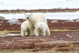 Polar Bear Seasonal Habits & Challenges | Arctic Kingdom