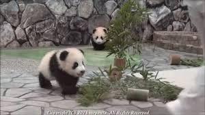 baby panda gif. Interesting Panda Baby Panda GIF Throughout Gif