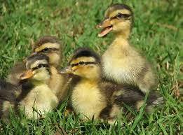 Muscovy Duck Facts Habitat Diet Behavior As Pets Photos
