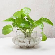 divine money plant terrarium mother s day plants