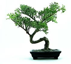 office bonsai tree. Fine Bonsai Tips On Choosing Your First Bonsai Tree With Office
