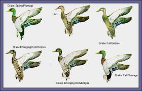 All About Dabbling Ducks
