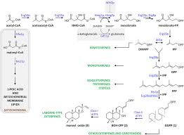 Competing Pathways Chart Schematic Representation Of Isoprenoid Biosynthesis Via The