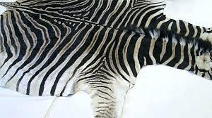 real animal skin rugs for zebra rug amazing black and white living room decor post animal skin rugs for