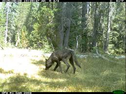 gray wolf pack in forest. Beautiful Forest Wolf1  Inside Gray Wolf Pack In Forest