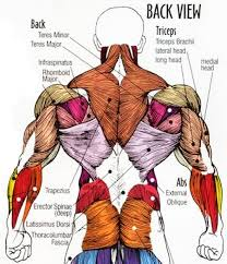 Diagram Of Inside Of Body Diagram Of Inside Of Body Muscle