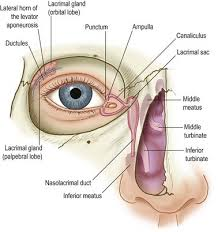 Eyelid Anatomy Eyelid Anatomy And Function Clinical Gate
