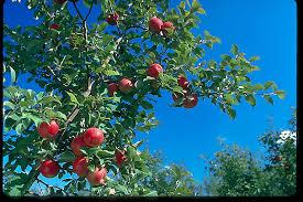 Figs U2013 The Forgotten Fruit   North Carolina Cooperative ExtensionFruit Tree Nursery North Carolina