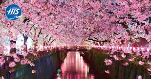 Bunga Sakura 5 Fakta Unik Bunga Sakura Yang Wajib Kamu Ketahui