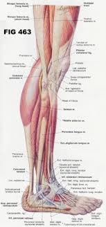 Leg And Foot Musculature Google Search Muscle Anatomy