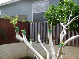 How To Graft Annona Fruit Trees Using Cleft Graft  Grafting Dream How To Graft Fruit Trees With Pictures