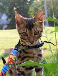 Bengal Cats–Are They Hypoallergenic?   Bengal Cats – Bengals Illustrated