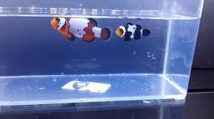 black and orange clown fish. Exellent Clown Intended Black And Orange Clown Fish