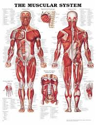 Stomach Muscle Chart The Muscular System Flexible Lamination Muscular System