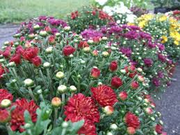how to plant a flower garden. When To Plant Garden Mums How A Flower D