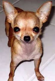 Empire of the Chihuahua: True Tales II