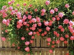 SCENTIMENTAL U2013 Modern FloribundaShrub Rose And No This Is Not A Fragrant Rose Plants