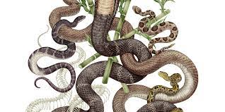 Quotations ▼ (ireland) somebody who acts deceitfully for social gain. The Gap Between Snake Conservation And Human Snake Conflict Mitigation Save The Snakes