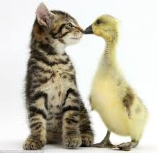 cute kittens and puppies cuddling. Unique Cute Fosset The Kitten With A Yellow Gosling Photographer Mark Taylor Is Famous  Around World With Cute Kittens And Puppies Cuddling I