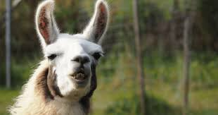Animal puns goodnight Dear You Dont Have To Be Grammar Geek To Appreciate Good Llama Pun Wide Open Pets 10 Most Ridiculous Llama Puns To Start Some Llama Drama