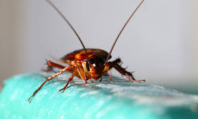 Why Do Some Cockroaches Fly