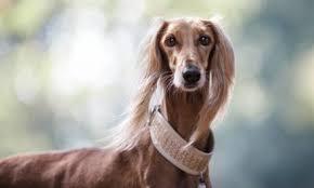 saluki dog. saluki dog breed description