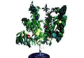 Bonita Creek Nursery Rare Fruit Trees In San Diego Los Angeles Hybrid Fruit Trees For Sale