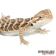 baby bearded dragon for