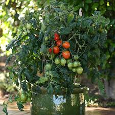 little napoli patio roma tomato