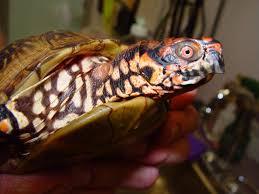 box turtle care chicago exotics