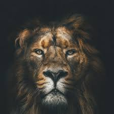 preview wallpaper lion muzzle mane loок predator