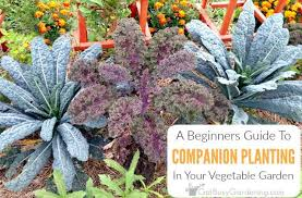 Kale Companion Planting Chart A Beginners Guide To Companion Planting Get Busy Gardening