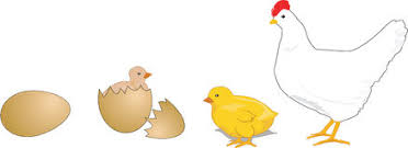 Image result for chicken life cycle